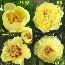 牡丹 イエローコレクション黄色系でお勧めをご紹介6号鉢(直径18cm)2〜3年物