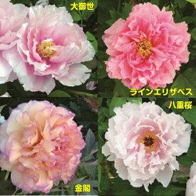牡丹 ピンキーコレクションピンク系でお勧めをご紹介6号鉢(直径18cm)2〜3年物