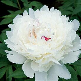 香り良い芍薬 コレクション フェスチバマキシマ12cmロングポット苗 シャクヤク 苗 耐寒性 多年草 花の苗 ガーデニング