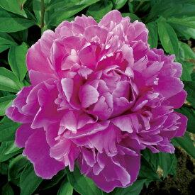 香り良い芍薬 コレクション エジュリスパーパ12cmロングポット苗 シャクヤク 苗 耐寒性 多年草 花の苗 ガーデニング