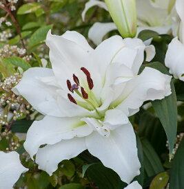 八重咲きカサブランカ ホワイトアイズ 1球 秋植え球根 冬植え球根 春咲き セット ゆり 百合