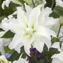 八重咲きオリエンタルリリー マイウエディング 2球パック 秋植え球根 冬植え球根 春咲き セット ゆり 百合