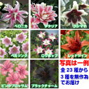 ☆安心の発芽済みユリ全23種からバラエティーにお届け品種によって9〜12cmポット3種組み合わせ