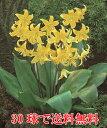 販売者泣かせの西洋黄花かたくり(カタクリ)でも、皆さんには喜んでもらえます!30球でかたくり畑を作っちゃいましょ…