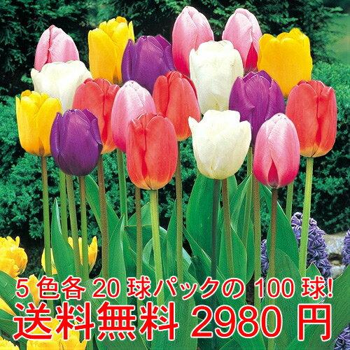 短期間で咲かせるチューリップ 5色各20球パックが5袋で100球 色別にパックしてお届けします!*送料無料・他品同梱OK関東甲信越地域以外は出荷地からの関係で別途送料が発生します