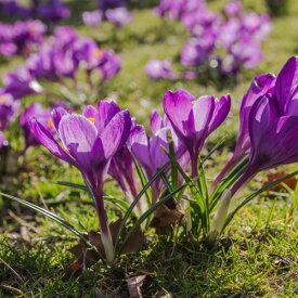 クロッカス フラワーレコード(水栽培にも!) 10球パック 秋植え球根 冬植え球根 春咲き セット