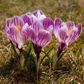 クロッカス ピックウイック(水栽培にも!) 10球パック 秋植え球根 冬植え球根 春咲き セット