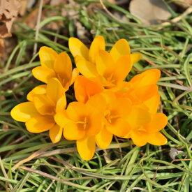 クロッカス ゴールデンイエロー(水栽培にも!) 10球パック 秋植え球根 冬植え球根 春咲き セット