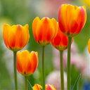 チューリップ オレンジエンペラー 6球パック 秋植え球根 冬植え球根 春咲き セット