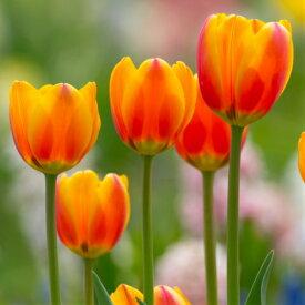 チューリップ オレンジエンペラー 一重咲き5球パック秋植え 冬植え 春咲き 球根 イングリッシュガーデン