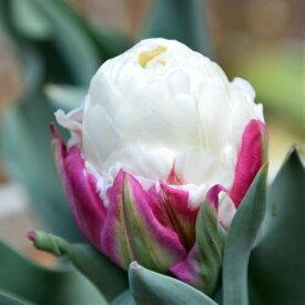 チューリップ アイスクリーム 3球パック秋植え 冬植え 春咲き 球根 イングリッシュガーデン セット