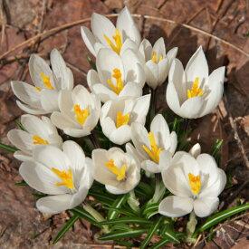 クロッカス ジャンヌダーク 水栽培にも10球パック秋植え 冬植え 春咲き 球根 イングリッシュガーデン セット