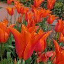 チューリップ バレリーナ ユリ咲き5球パック秋植え 冬植え 春咲き 球根 イングリッシュガーデン