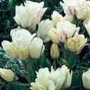 チューリップ キャンディークラブ 枝咲き5球パック秋植え 冬植え 春咲き 球根 イングリッシュガーデン