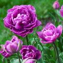 チューリップ ブルーダイアモンド 八重咲きプランター1杯分のチューリップ 全国送料無料20球パック秋植え 冬植え 春咲…