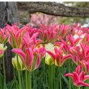チューリップ グリーンランド 一重咲き5球パック秋植え 冬植え 春咲き 球根 イングリッシュガーデン