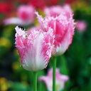 チューリップ ハウステンボス フリンジ咲き5球パック秋植え 冬植え 春咲き 球根 イングリッシュガーデン