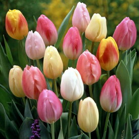 チューリップ パステルカラーコレクション 一重咲きプランター1杯分に咲き誇ります 全国送料無料5種各 5球ミックス 25球パック【予約】