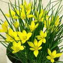イフェイオン(ハナニラ) セロウイアナム 3球パック 秋植え球根 冬植え球根 春咲き セット