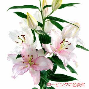 の 花 ゆり
