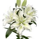 オリエンタルリリー ローズリリー アイーシャ 1球保湿剤入りパックゆり ユリ 百合 秋植え 冬植え 春咲き 球根 イング…