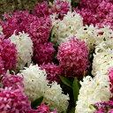 ヒヤシンス ピンク&ホワイトカラフル 2色各3球パック秋植え 冬植え 春咲き 球根 イングリッシュガーデン