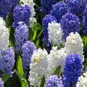 ヒヤシンス ブルー&ホワイト カラフル 2色各3球パック秋植え 冬植え 春咲き 球根 イングリッシュガーデン