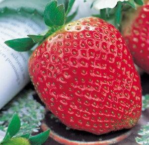 でっかい実ができる いちご 苗 ジャンボ イチゴ ( いちご ) アイベリーポット苗1個