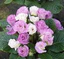 楽天1位バラ咲きプリムラ ジュリアン・ブルーベリーのムース 1株 花苗 冬咲き 宿根草 苗 鉢植え 庭植え ガーデニング…