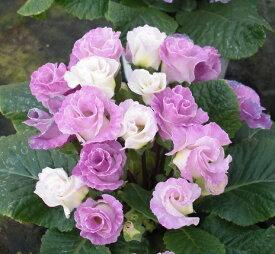 楽天1位バラ咲きプリムラ ジュリアン・ブルーベリーのムース 1株 花苗 冬咲き 宿根草 苗 鉢植え 庭植え ガーデニング 寄せ植え等に