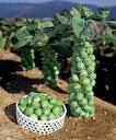芽キャベツの苗3株セット