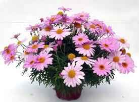 マーガレット コメットピンク 1株 苗 宿根草 栄養系 花苗 花の苗