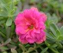 ☆八重咲きポーチュラカ 可愛いピンク 2株