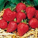 イチゴ(いちご) 四季なりドルチェ 1株 サントリー本気野菜シリーズ 年に2回収穫