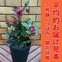 復活!宿根草 クリスマスローズ希少品種 アンナズレッド5号鉢(つぼみ〜開花開始)