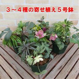 クリスマスローズ 1鉢に3〜4種の開花物を寄せ植えしたお値打ち品 松村園芸さんの開花株おまかせミックス