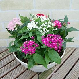 1鉢で5色咲くペンタス8号鉢ペンタス 届いた以降は水だけでOK!霜が降りる頃まで楽しめます