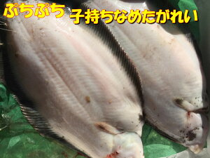送料無料 北海道産 天然 子持ちナメタガレイ 2尾(1.2kg前後)縁起物 カレイ 鰈 冷蔵にて発送