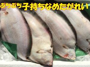 送料無料 北海道産 天然 子持ちナメタガレイ 4尾(2.4kg前後) 縁起物 カレイ 鰈 冷蔵にて発送