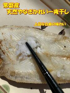 送料無料 常磐産 天然ヤナギカレイ 一夜干し 一尾70〜100g 10尾入 柳かれい 柳カレイ やなぎかれい 鰈 カレイ かれい 干物