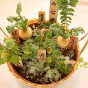 正月に『春の七草』寄せ植え  七草 お正月に お歳暮に 年賀の挨拶に ご自宅用に 暮れのごあいさつに