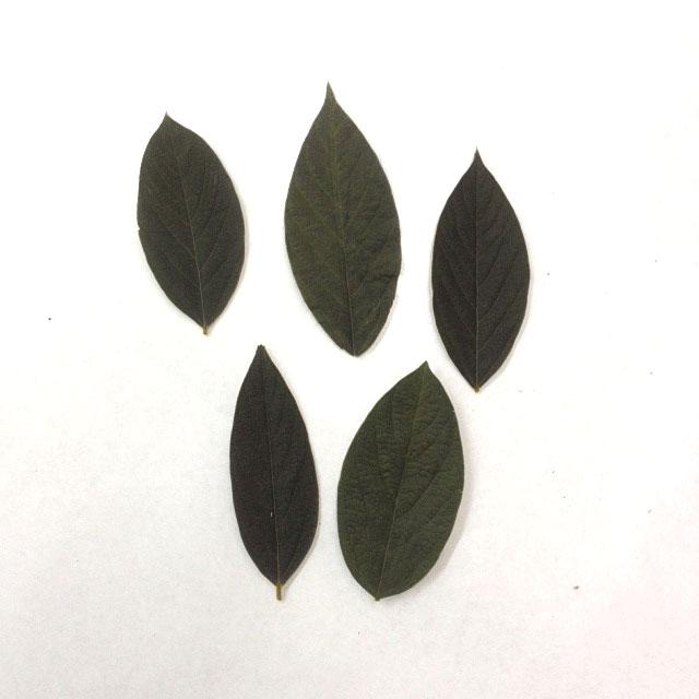 [花材・プリザ リーフ] ベルベットリーフ5枚セット