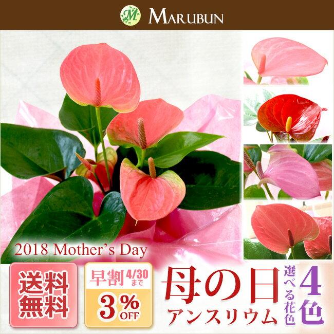 【超早割3%OFF】【送料無料】【母の日】選べる花色 4種類 アンスリウム 陶器鉢入り 無料ラッピング&母の日ピック付