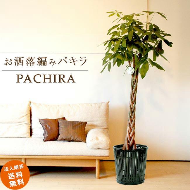 ≪スタンダード品≫大型10号パキラ 5本編み仕立て(竹の鉢カバーI付き)