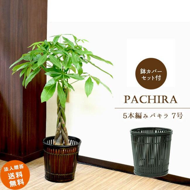 ≪スタンダード品≫中型7号パキラ 5本編み仕立て(竹の鉢カバーI付き)
