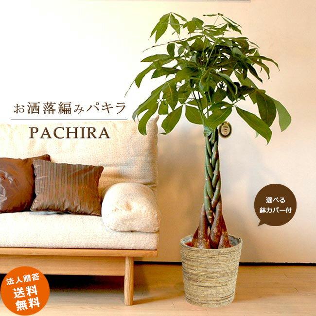 ≪スタンダード品≫ 中型8号パキラ 5本編み仕立て(選べる鉢カバーA・B・C付き) 観葉植物 パキラ 送料無料