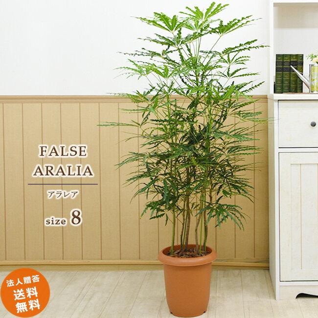 【送料無料】観葉植物 アラレア 中型8号 プラ鉢入り 涼しげ爽やか(鉢カバーなし)