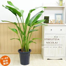 ストレリチア オーガスタ 10号 (鉢カバーなし)観葉植物 大型 おしゃれ インテリア ギフト 祝い 開店 誕生日 新築 プレゼント ラッピング
