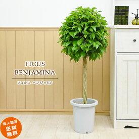 ベンジャミン 8号 (鉢カバーなし)観葉植物 中型 おしゃれ インテリア ギフト 祝い 開店 誕生日 新築 プレゼント ラッピング