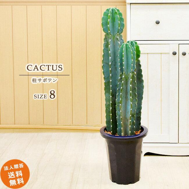 とげなし安心 柱サボテン 3本立ち 中型8号 プラ鉢入り(鉢カバーなし) 送料無料 観葉植物 インテリア
